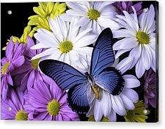 Blue Butterfly On Mixed Mums Acrylic Print by Garry Gay