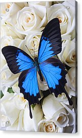 Blue Butterfly On White Roses Acrylic Print by Garry Gay