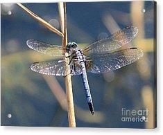 Blue Dragonfly Acrylic Print by Carol Groenen