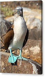Blue-footed Booby Acrylic Print by Alan Lenk