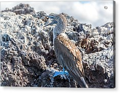 Blue Footed Booby Acrylic Print by Jess Kraft