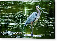 Blue Heron Acrylic Print by Optical Playground By MP Ray