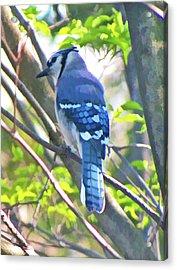Blue Jay Acrylic Print by Daphne Sampson