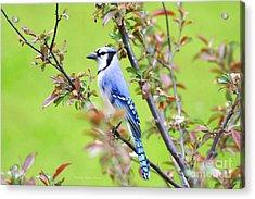 Blue Jay Acrylic Print by Deborah Benoit