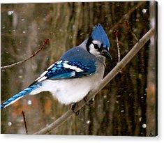 Blue Jay In The Snow Acrylic Print by Debra     Vatalaro