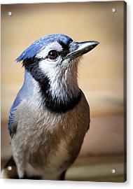 Blue Jay Portrait Acrylic Print by Al  Mueller