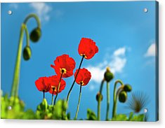 Blue Sky And Poppies Acrylic Print by Tamyra Ayles