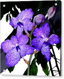 Blue Violet Orchids Acrylic Print by Mindy Newman