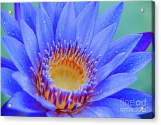 Blue Water Lily Acrylic Print by Julia Hiebaum