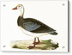 Blue Winged Goose Acrylic Print by English School