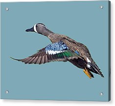 Blue-winged Teal Acrylic Print by Larry Linton
