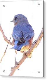 Bluebird On White Acrylic Print by Robert Frederick