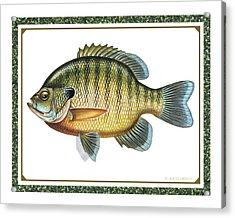 Bluegill Print Acrylic Print by JQ Licensing