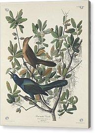 Boat-tailed Grackle Acrylic Print by John James Audubon