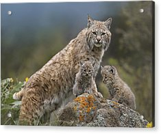 Bobcat Mother And Kittens North America Acrylic Print by Tim Fitzharris