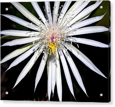 Bold Cactus Flower Acrylic Print by Kelley King