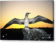 Booby At Sunset Acrylic Print by Dave Fleetham - Printscapes