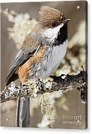 Boreal Chickadee Acrylic Print by Larry Ricker