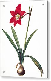Botany: Lily Acrylic Print by Granger