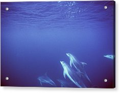Bottlenose Dolphins Swimming In Open Acrylic Print by James Forte