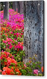 Bougainvillea Forever Acrylic Print by Eggers Photography