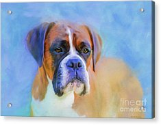 Boxer Blues Acrylic Print by Michelle Wrighton