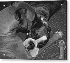 Boxer Buddies Acrylic Print by DigiArt Diaries by Vicky B Fuller