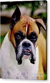 Boxer Expressions Acrylic Print by Laurel Sherman