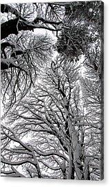 Branches With Snow Acrylic Print by Mark Denham