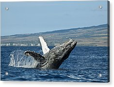 Breach Near Maui I Acrylic Print by Dave Fleetham - Printscapes