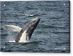 Breaching Humpback Whale Acrylic Print by Jim  Calarese