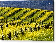 Bright Mustard Grass Acrylic Print by Garry Gay