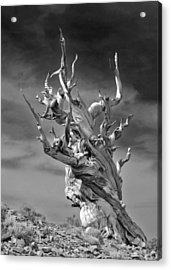 Bristlecone Pine - A Survival Expert Acrylic Print by Christine Till