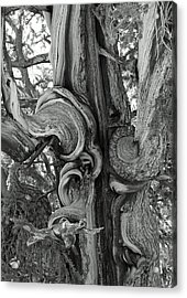Bristlecone Pine Detail Acrylic Print by Troy Montemayor