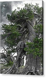 Bristlecone Pine Tree On The Rim Of Crater Lake - Oregon Acrylic Print by Christine Till