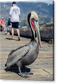Brown Pelican Breeding Plumage   Acrylic Print by John Pierpont