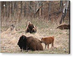 Buffalo And Calf Acrylic Print by Andrea Lawrence