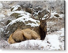 Bull Elk Lounging Acrylic Print by Scott Nelson