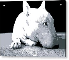 Bull Terrier White On Black Acrylic Print by Michael Tompsett