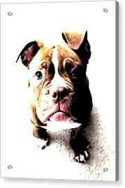 Bulldog Puppy Acrylic Print by Michael Tompsett