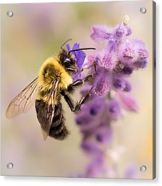 Bumble Bee On Russian Sage Acrylic Print by Jim Hughes