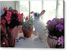 Bunny In Window Acrylic Print by Garry Gay