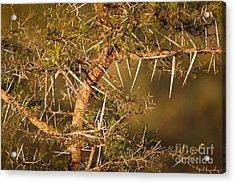 Bush Stinger Acrylic Print by Andy Smy