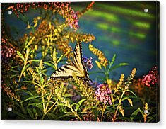 Butterfly Bandit Acrylic Print by Nick Roberts