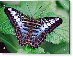 Butterfly Acrylic Print by Don  Wright