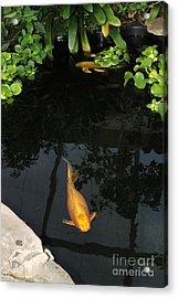 Butterfly Koi In Pond Acrylic Print by John Kaprielian