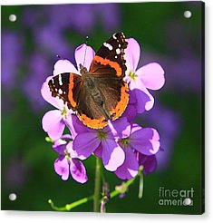 Butterfly Acrylic Print by Robert Pearson