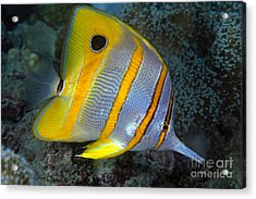 Butterflyfish Acrylic Print by Dave Fleetham - Printscapes