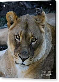 Cabara Acrylic Print by Laurie Chrisco