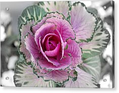 Cabbage  Flower Acrylic Print by Terence Davis